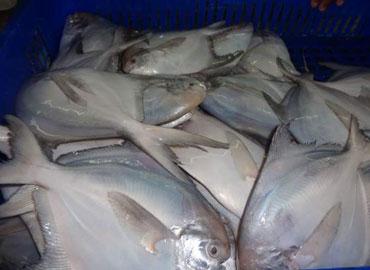 Jeelani Marine Products, Ratnagiri - Leading Fresh Marine Fish