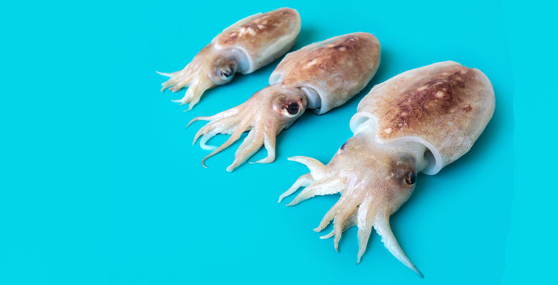 CuttleFish (Sepia Pharaonis) Exporter in India