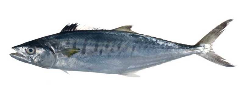 Seer Fish (Spanish King Mackerel) Exporter in India